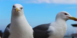 seagulls-venice