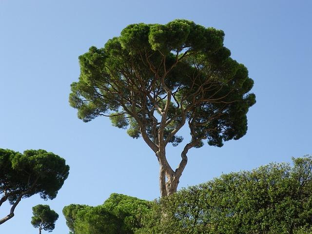trees, pine, mediterranean