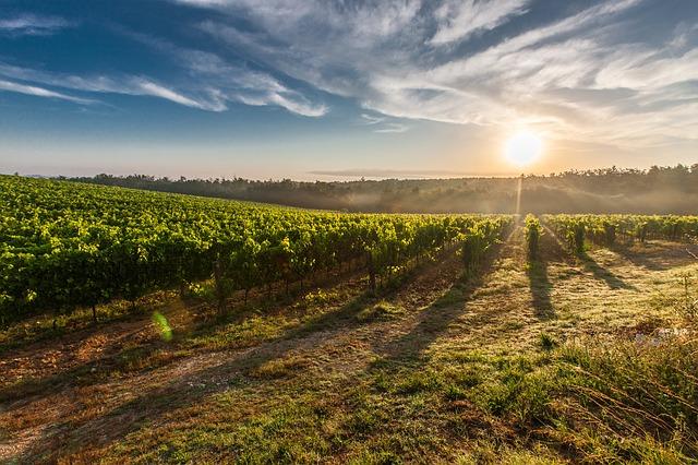tuscany, grape, field