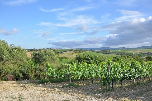 wineyard, grapeyard, grape farm