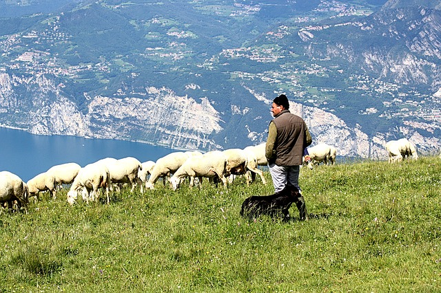 schäfer, flock of sheep lake garda, italy